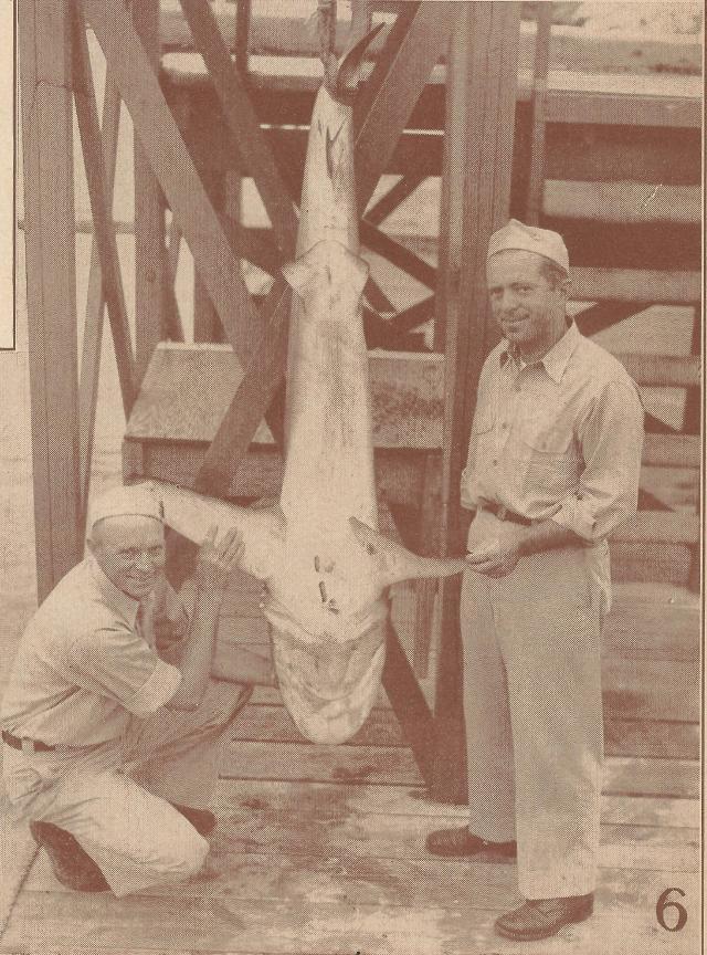 bermuda shark